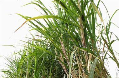 Около 100 детей отравились в Перу после обработки гербицидами тростника