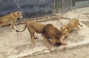 В Чили молодой парень разделся догола и прыгнул в клетку к львам