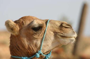 В Индии верблюд откусил голову хозяину