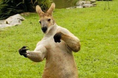 Видеохит: в США подрались кенгуру и работник зоопарка