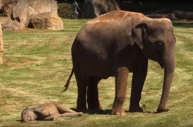 Спящий слоненок покорил интернет
