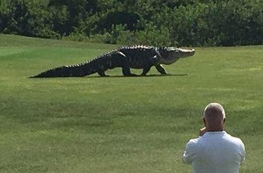 """В США 5-метровый аллигатор решил """"сыграть в гольф"""""""