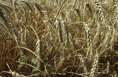 Украина больше не может без пошлин продавать пшеницу в ЕС