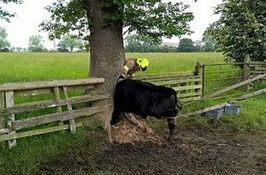 Британские пожарные спасли корову, застрявшую в дупле