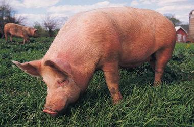 В Харьковской области зафиксировали массовую гибель свиней