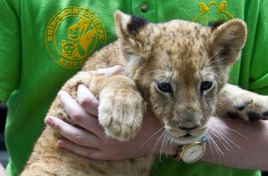 Кличко со львенком на руках презентовал концепцию обновления Киевского зоопарка