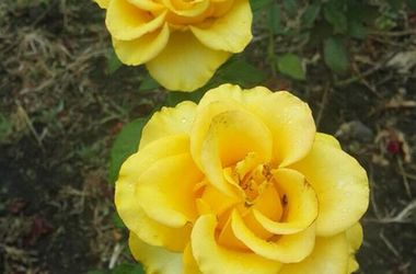 В киевском парке расцвели шикарные розы