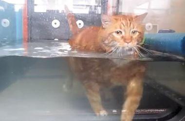 Очень толстый кот похудел на 9 кг благодаря изнурительным тренировкам