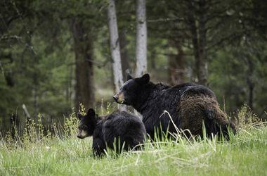 Боксер подрался с медведицей, защищавшей детеныша