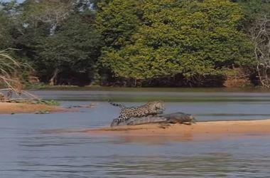 Ягуар атакует крокодила: удивительное видео
