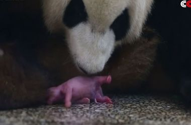 Как панда появляется на свет