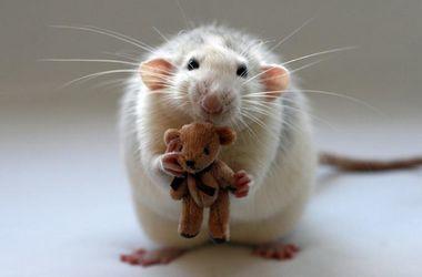 В Крыму объявили охоту на украинских крыс