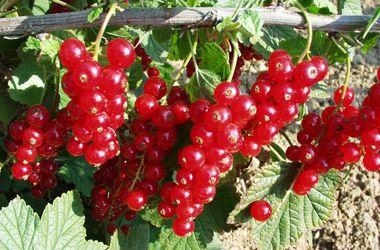 Советы по выращиванию смородины и лунный календарь для садоводов на грядущую неделю