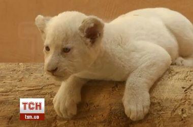 5 редких белых львят родились в украинском зоопарке