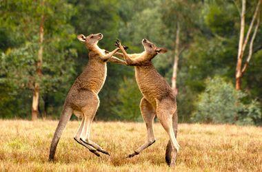 Видеохит: два кенгуру устроили драку с невероятными приемами