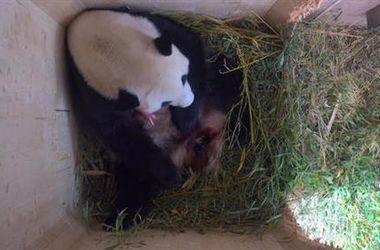 В Вене родился детеныш гигантской панды
