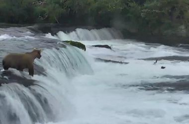 Видеохит: в США медведица спасла упавших в речку медвежат