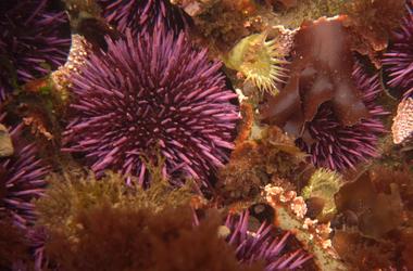 Морские ежи выворачиваются наизнанку, чтобы родиться