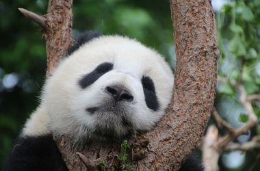 Панды перестали быть вымирающим видом
