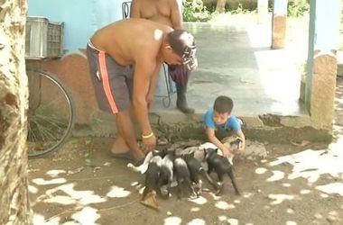 Видеохит: на Кубе собака усыновила поросят