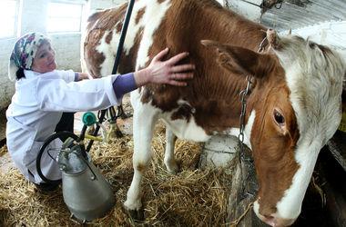 Украине грозит резкий рост цен на молоко и мясо