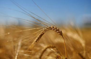 Египет запретил пшеницу из Украины