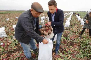 Сбор буряка в Украине: адский труд за восемь копеек