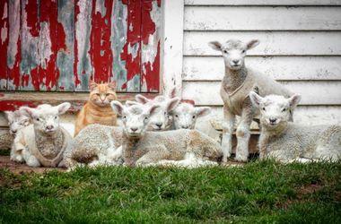 Видеохит: кот Стив возглавил отару ягнят в Новой Зеландии