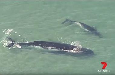 Видеохит: китенок спас маму, застрявшую на песчаной отмели