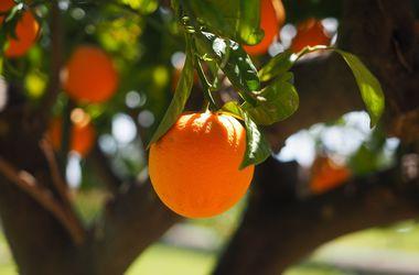 Миру грозит дефицит апельсинов
