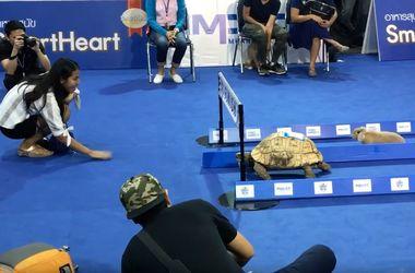 Видеохит: черепаха смогла обогнать кролика