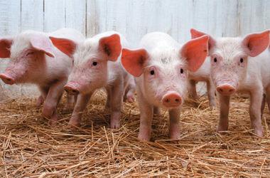 Под Харьковом – очередная вспышка африканской чумы свиней