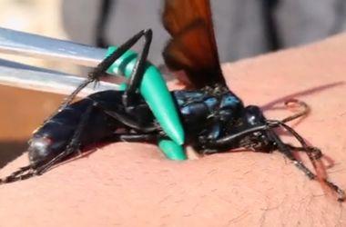 Видеохит: исследователь показал самый болезненный укус насекомого