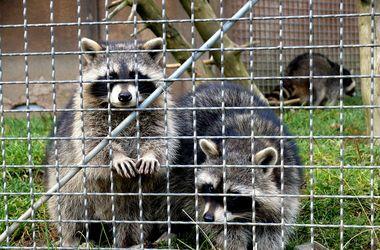 Видеохит: енот перехитрил посетительницу зоопарка