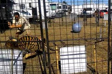 Big tiger pounced on the trainer in front of children