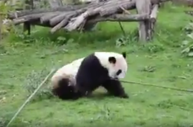 "Большая панда умеет драться, как знаменитая ""Панда кунг-фу"""