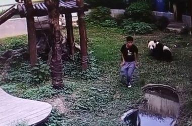 Китаец забрался вольер к 120-кг панде, чтобы впечатлить девушку, и едва сбежал