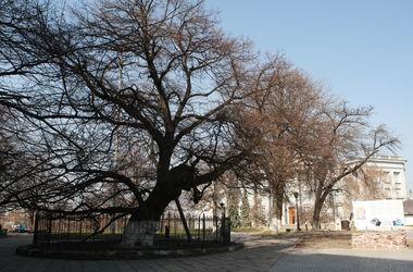 В Киеве создали карту с самыми старыми деревьями в городе