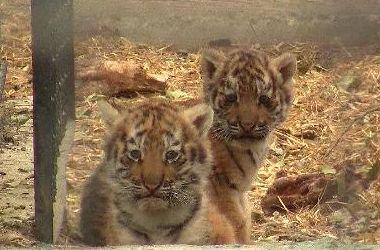 В зоопарке Одессы впервые показали очаровательных тигрят