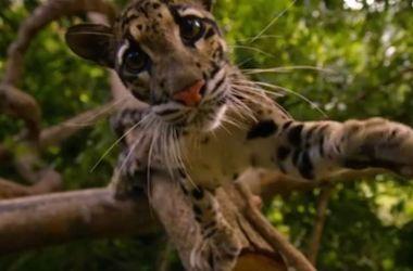 Видеоролик с играми диких кошек собрал более 6 миллионов просмотров