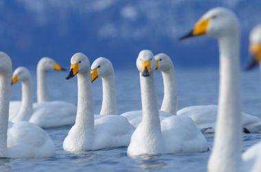 Восемь лебедей спасали из ледяного плена в Днепропетровской области