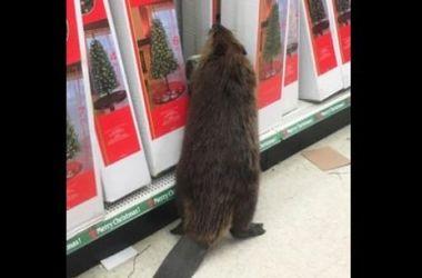 Бобер пробрався в супермаркет за новорічною ялинкою