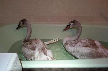 Под Киевом спасли лебедя с оторванным крылом и замерзающую лебединую пару
