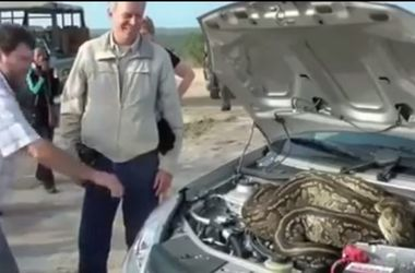 A huge snake crawled under the hood of the car