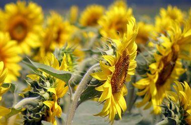 Украина снова станет мировым лидером по экспорту подсолнечного масла - Кутовой