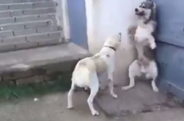 The large dog pounced on a dog that is not barking in puppies