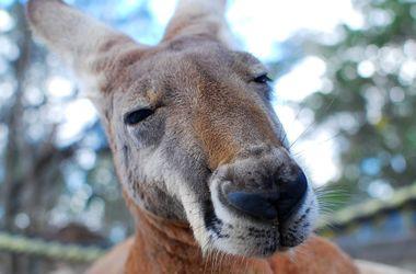 Australia zoo har vägrat att avfärda hit en känguru i ansiktet av den anställde