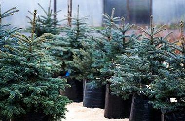 Лесники в Украине будут выдавать новогодние елки напрокат