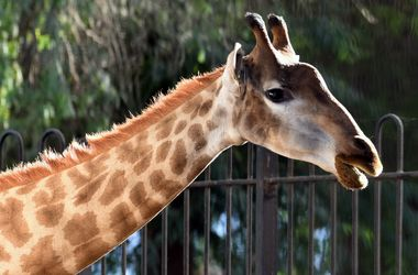 Giraffes are on the brink of extinction - scientists