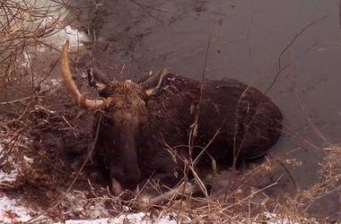 В Харьковской области спасли лося, который не мог выбраться из реки на берег